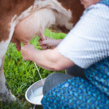 Dojenie krowy
