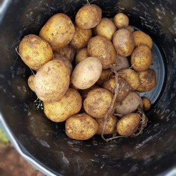 Ziemniaki - wykoki